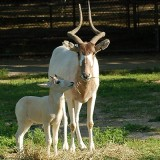 Addax at the Louisville Zoo