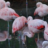 Flamingo at the Louisville Zoo