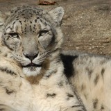 Snow Leopard at the Louisville Zoo