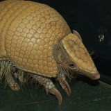 Armadillo at The Louisville Zoo