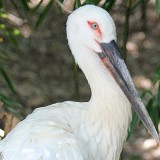 Oriental White Stork at the Louisville Zoo