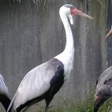 Wattled Crane at the Louisville Zoo