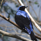 Fairy Bluebird at the Louisville Zoo