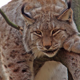Lynx at the Louisville Zoo