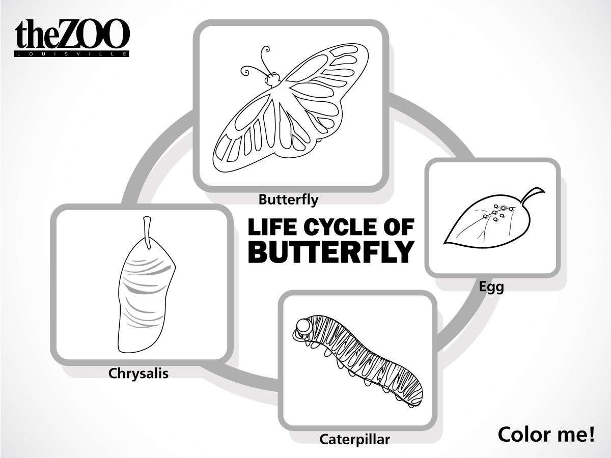 life cycle of a butterfly essay Introduction: in this lesson, 2nd grade students will participate in a class on the life cycle of a butterfly students will learn standards-aligned science concepts.
